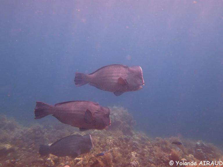 Les bisons marins