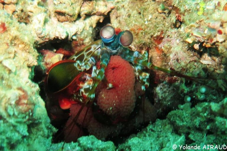 Une crevette mantis avec ses oeufs